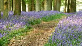 Waldweg mit blauen Blumen