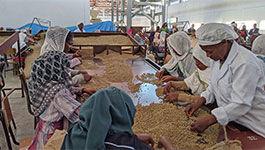Frauen in Adis Abeba bei der Kaffeelese
