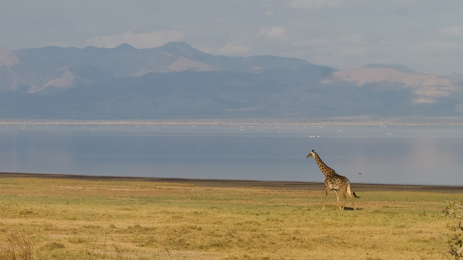 Giraffe im Lake Manyara Nationalpark, Tansania